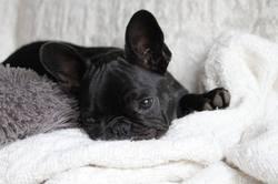 Lilou, chien Bouledogue français