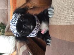 Lilou, chien Pékinois