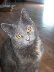 Lilou, chat Européen