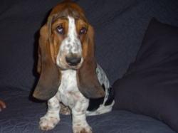 Lilou, chien Basset Hound