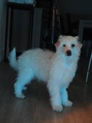 Lilou, chien Chien chinois à crête