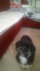 Lilou, chien Lhassa Apso