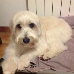 Lilou, chien Berger des Pyrénées