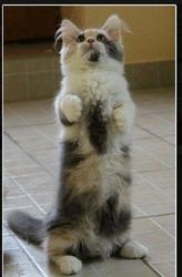 Lilou De La Petite Orière, chat Munchkin