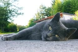 Liloue, chat Européen