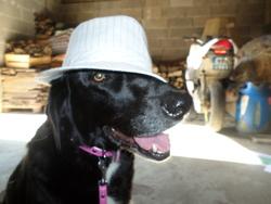 Liloup, chien Labrador Retriever