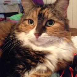Lily, chat Norvégien