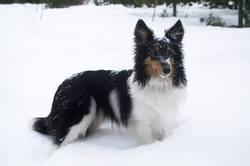 Lily, chien Berger des Shetland
