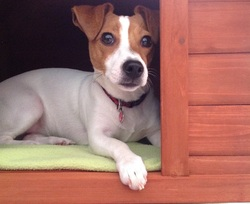 Lily, chien Jack Russell Terrier