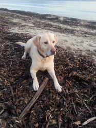 Lily, chien Labrador Retriever