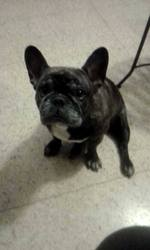Lily, chien Bouledogue français