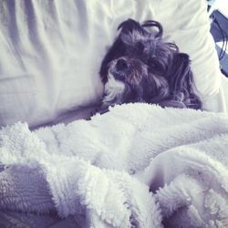 Lily, chien Terre-Neuve