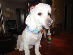 Lily, chien Caniche