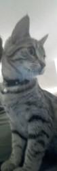 Lily, chaton Gouttière