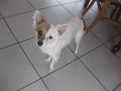 Lily, chien Chihuahua