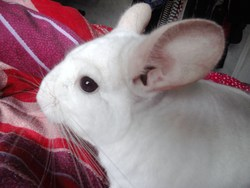 Lily, rongeur Chinchilla