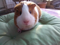 Lily, rongeur Cochon d'Inde