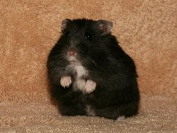 Lily, rongeur Hamster
