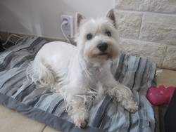 Lily, chien West Highland White Terrier