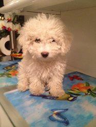 Lily, chien Bichon à poil frisé