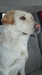 Lily, chien Berger allemand