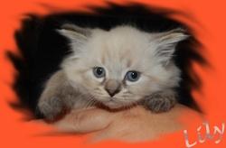 Lily De La Triade Des Loupiot, chat