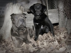 Lily-Rose, chien Shar Pei