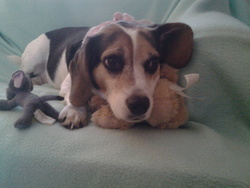 Lily Rose, chien Beagle