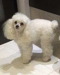 Limelo, chien Caniche