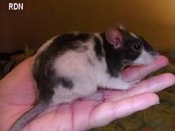 Limonade, rongeur Rat