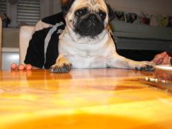 Lina, chien Carlin