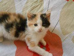 Lina, chat Européen