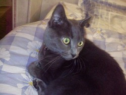 Lina, chat Chartreux