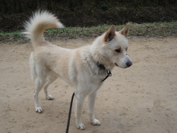 Lina , chien Berger blanc suisse