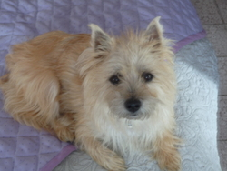 Lina, chien Cairn Terrier