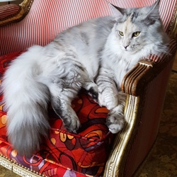 Lina, chat Maine Coon