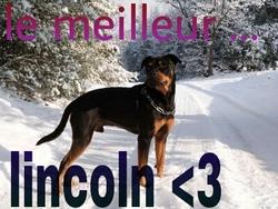 Lincoln, chien Rottweiler
