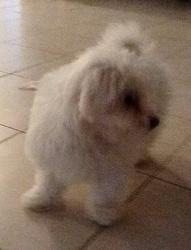 Linda, chien Bichon maltais
