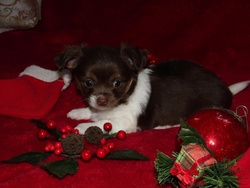 Linda, chien Chihuahua