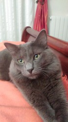 Lindt, chat Nebelung