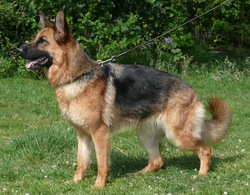 Ling, chien Berger allemand