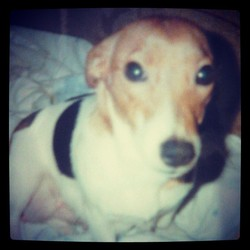 Ling, chien Jack Russell Terrier