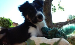 Link, chien Border Collie