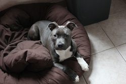 Link, chien American Staffordshire Terrier