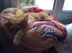 Link, chat Maine Coon