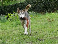 Link, chien Husky sibérien