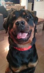 Link, chien Rottweiler