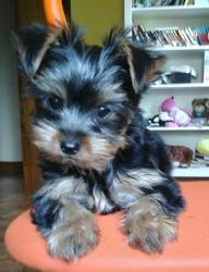 Link, chien Yorkshire Terrier