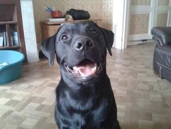 Link, chien Labrador Retriever