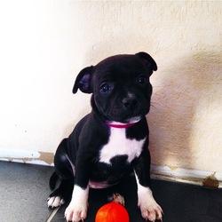 Linka, chien Staffordshire Bull Terrier